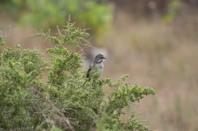 bells-sparrow-meiman-001